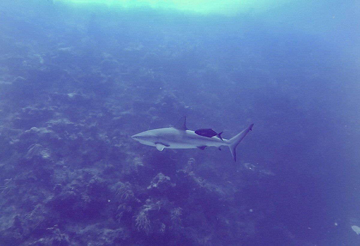Reef Shark at Beaches Turks and caicos