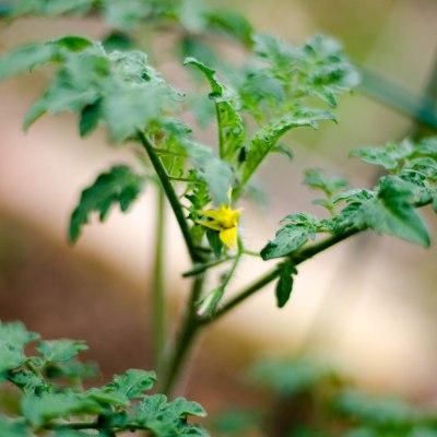 tomato gardening march