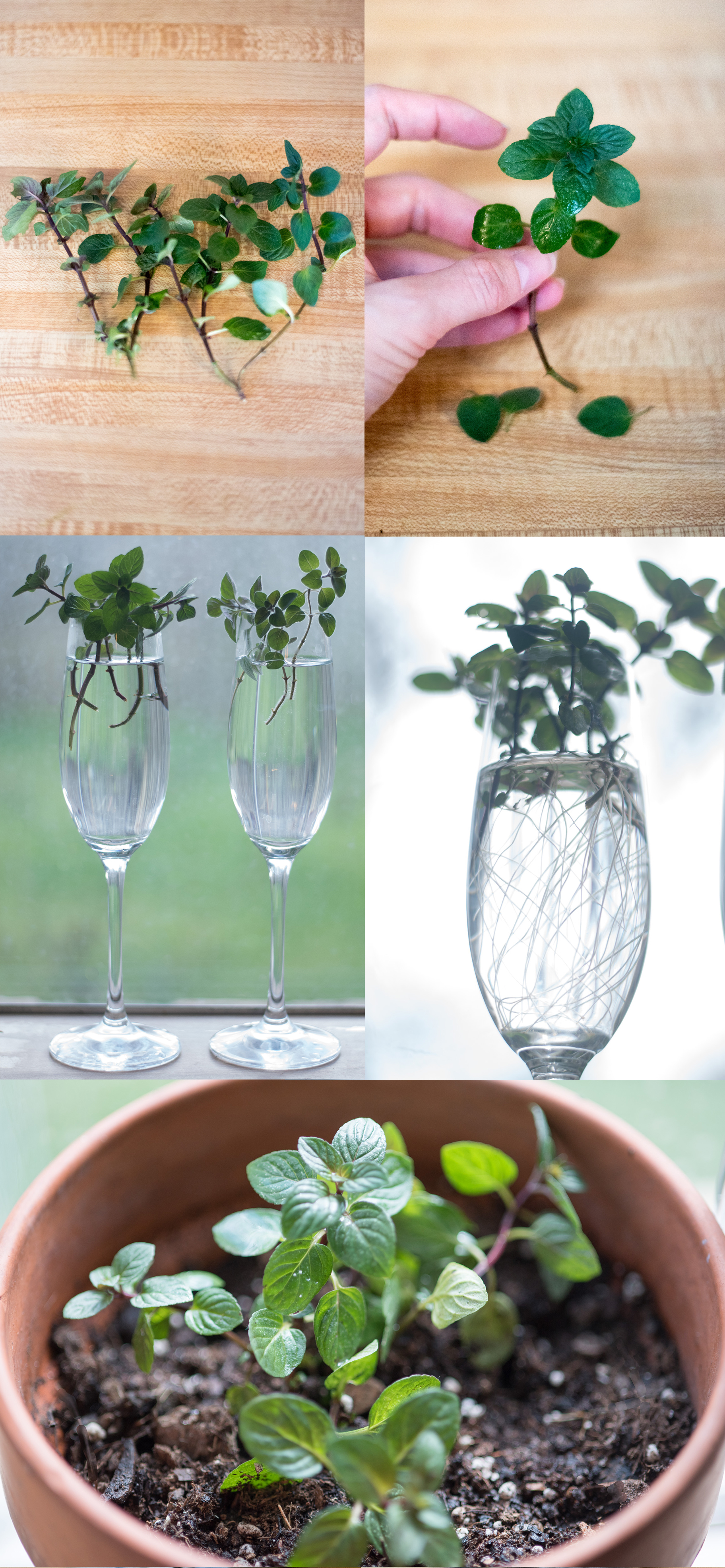 mint cuttings how to