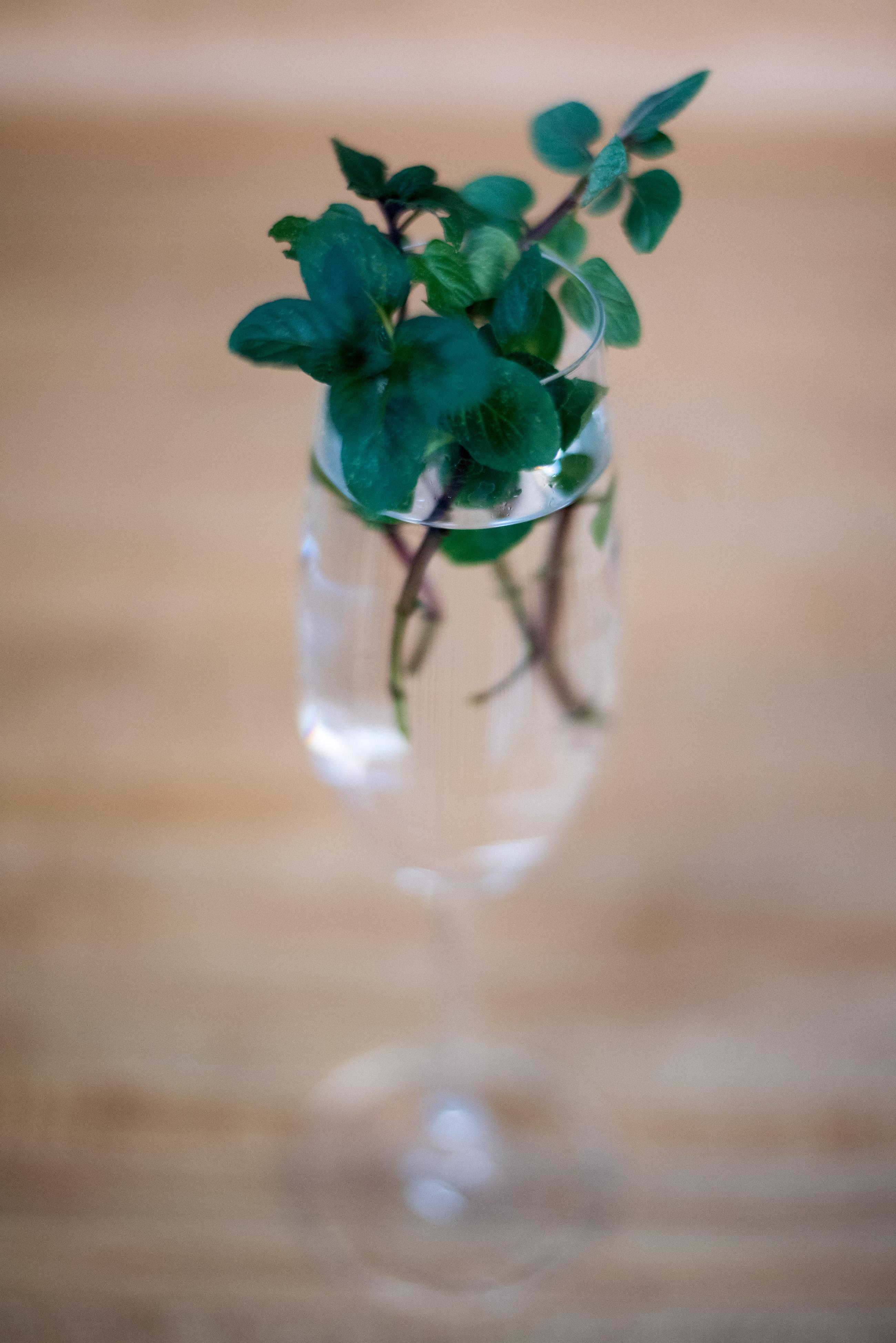 grow mint cuttings
