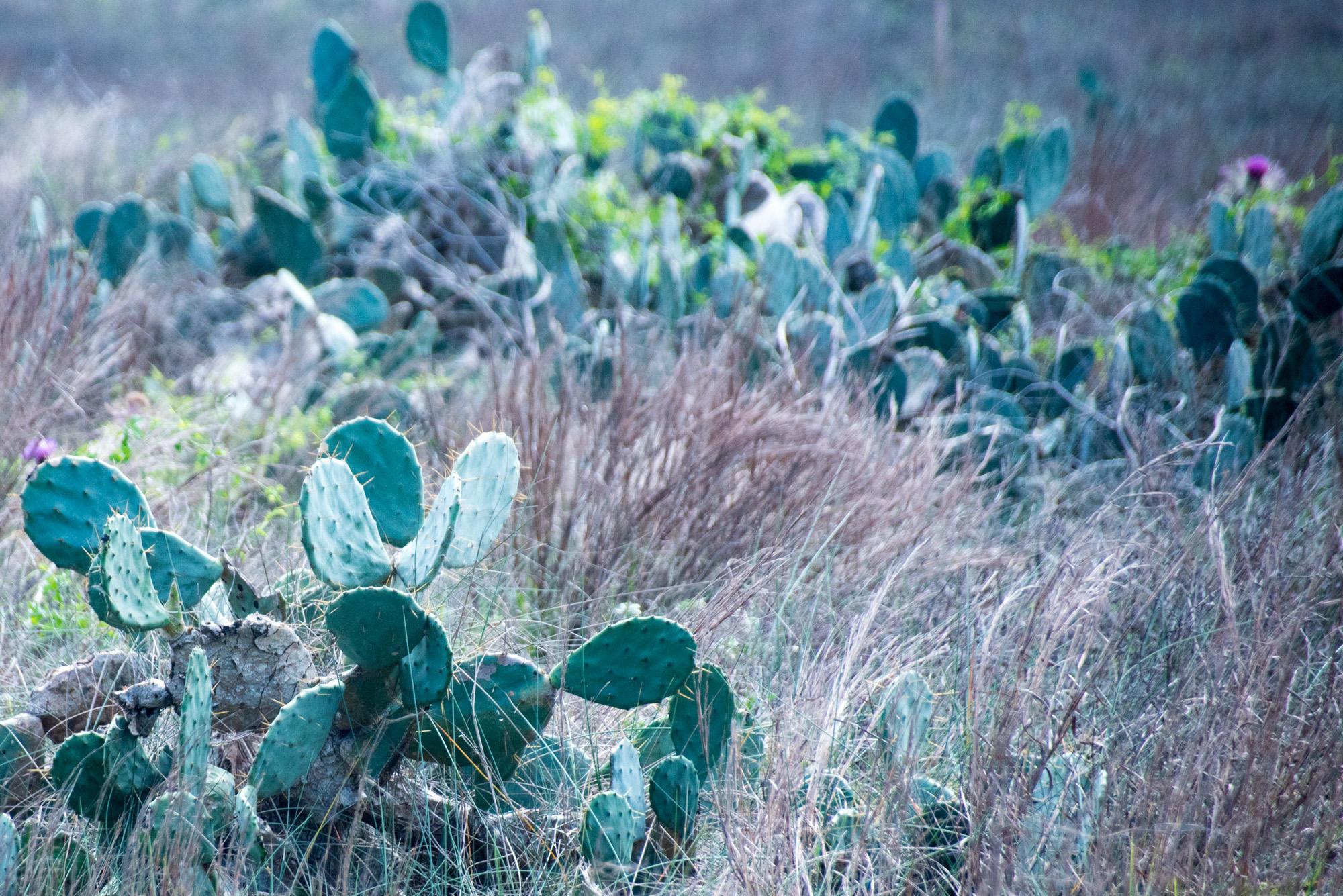 matagorda cactus