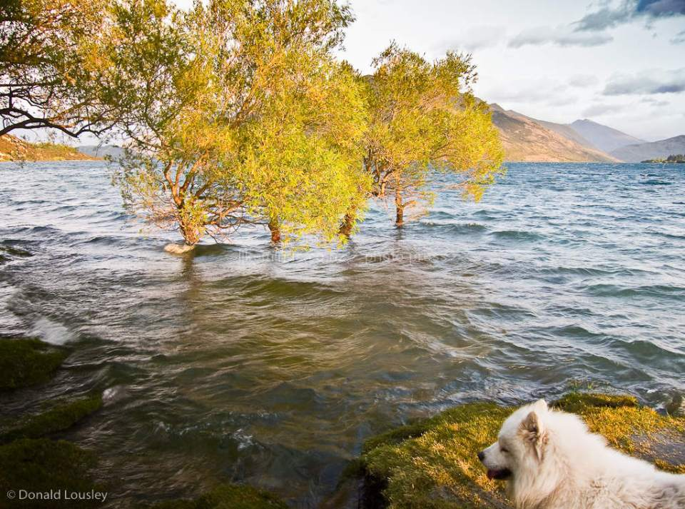 Four trees in Lake Wanaka and a dog by Donald Lousley.