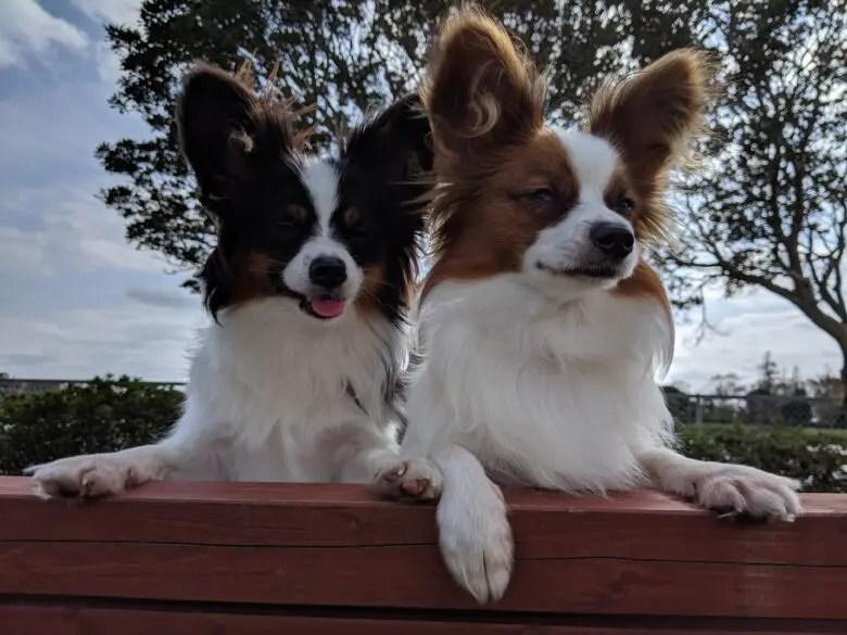 ライラック犬舎 ユッキー&シュンシュン パピヨン 姉妹 走る