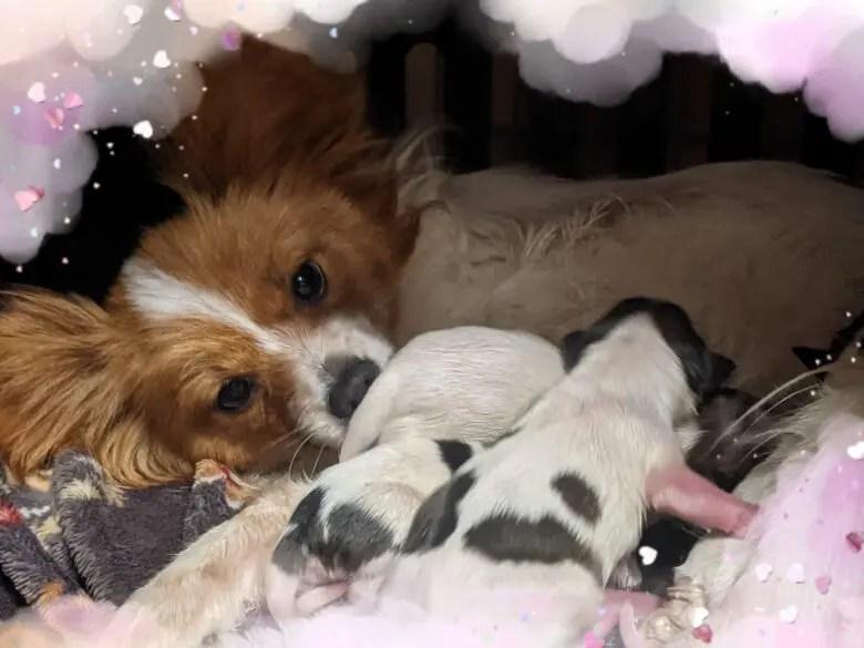2月8日にセントっ子♥元気に誕生しました(/^-^(^ ^*)/ パピヨン出産 パピヨン成長記録
