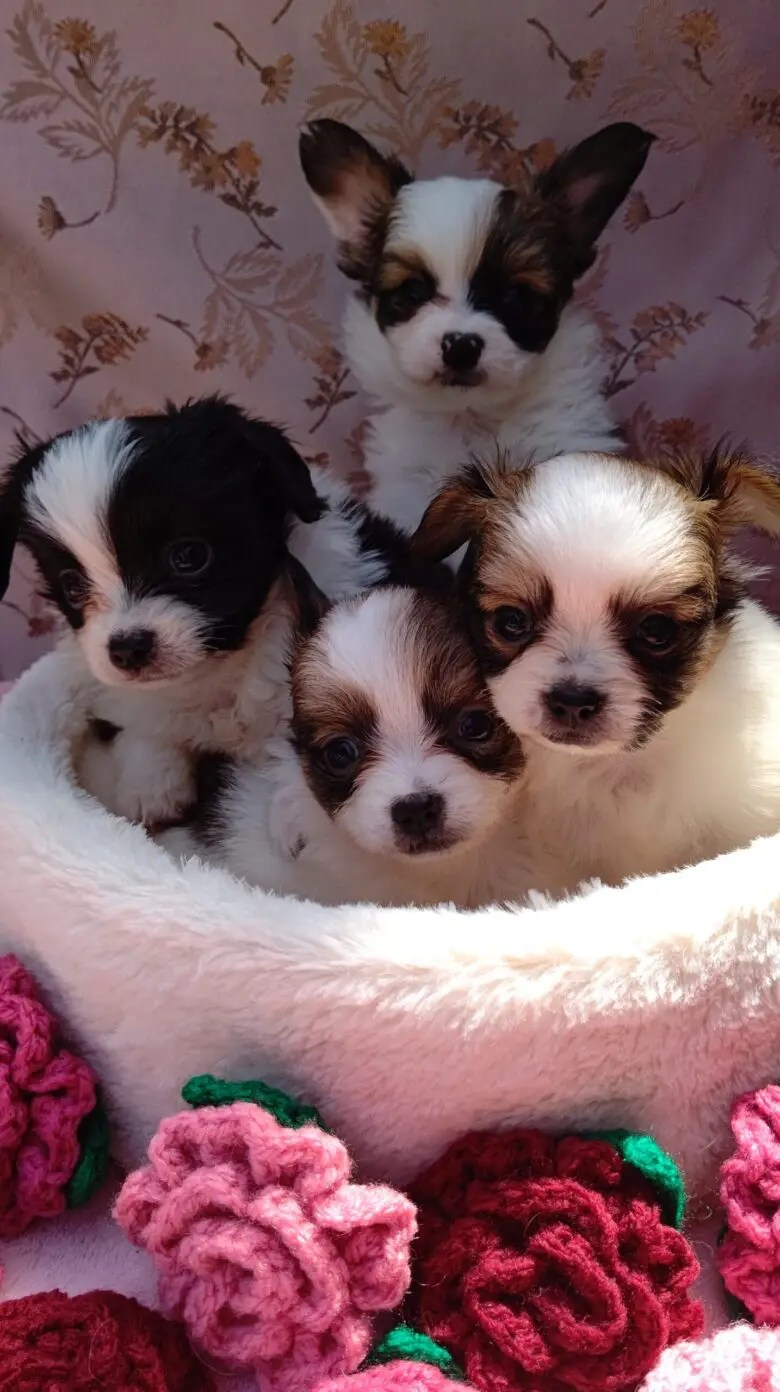 ライラック犬舎 子犬最新情報 パピヨン&チワワ  成長記録 オーナー様募集中 ペット関連ポータルサイト みんなのブリーダーナビ(感謝状を頂きました。) みんなのブリーダー 子犬情報 土屋弘美ブリーダー パピヨンブリーダーチワワブリーダー千葉県匝瑳市