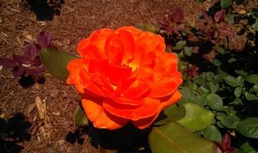 """""""Big Orange"""" Rose"""