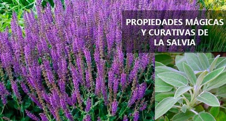 Propiedades mágicas ycurativas de la Salvia
