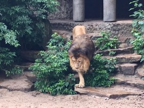 Majestic lion in Artis zoo, Amsterdam