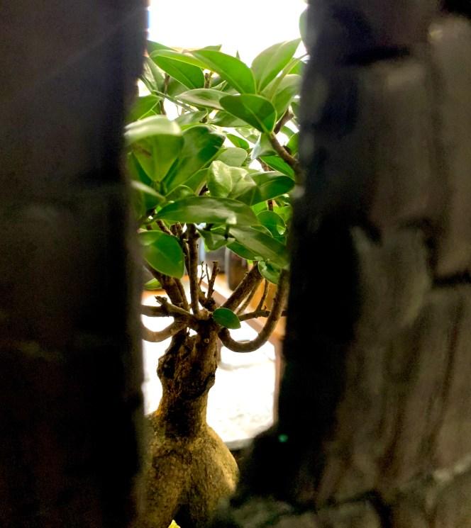 Kokenendo plante ficus Keshiki