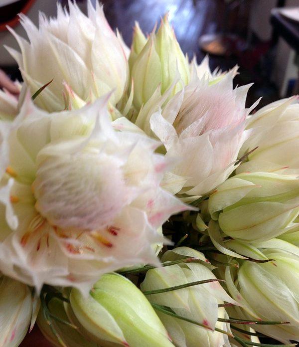 Bridal Protea