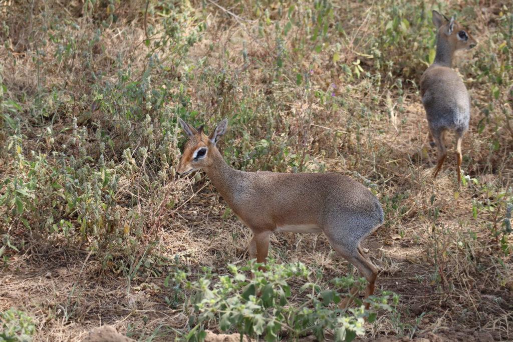 dik dik lac manyara tanzanie safari