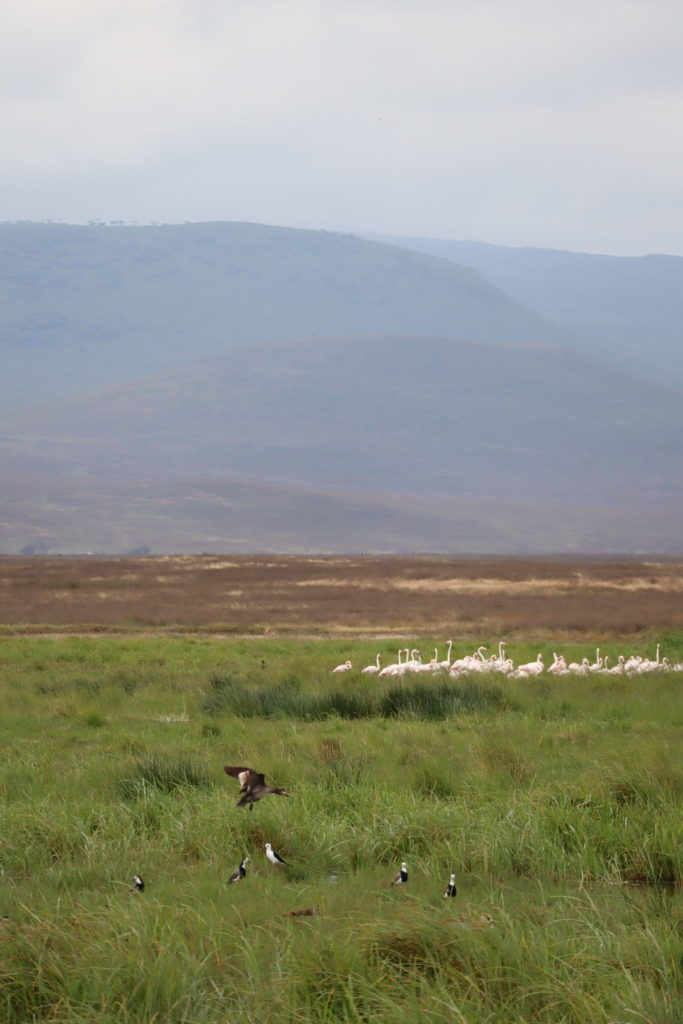 groupe flamands rose ngorongoro tanzanie safari