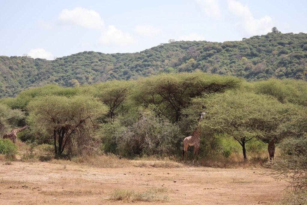 girafes lac manyara tanzanie safari