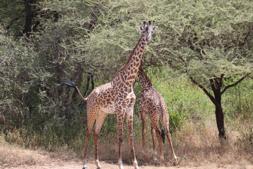 deux girafes lac manyara tanzanie safari