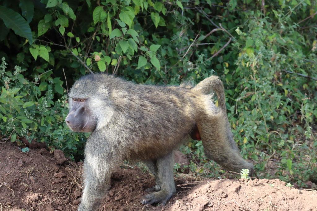 babouin lac manyara tanzanie safari