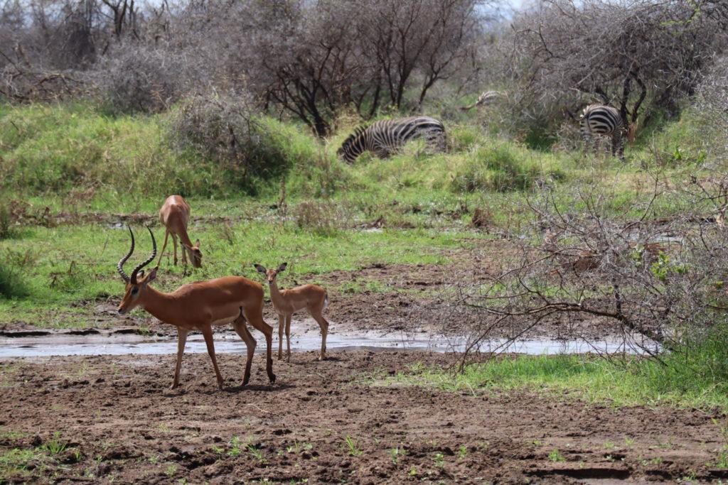 impala lac manyara tanzanie safari