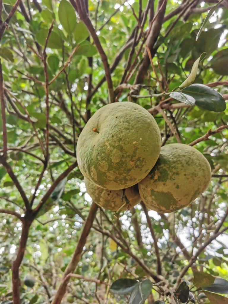 ferme kizimbani fruit zanzibar