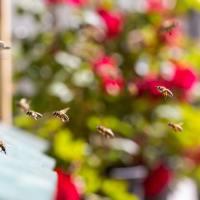 Spiare le api a Bressanone con il progetto Brixen to Bee