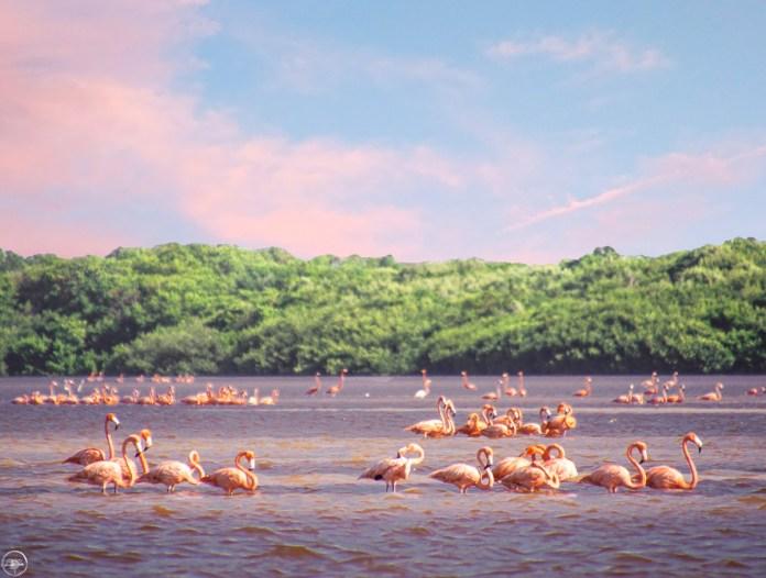Image result for celestun flamingos
