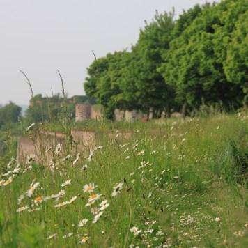 Montreuil - remparts fleurs