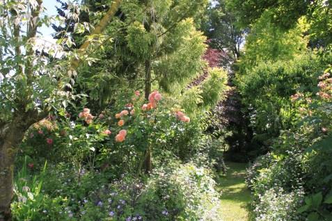 Le jardin des lianes - roses abricot
