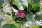 Le jardin des lianes - nénuphar