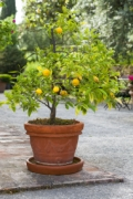 Orange trees symbolize good fortune