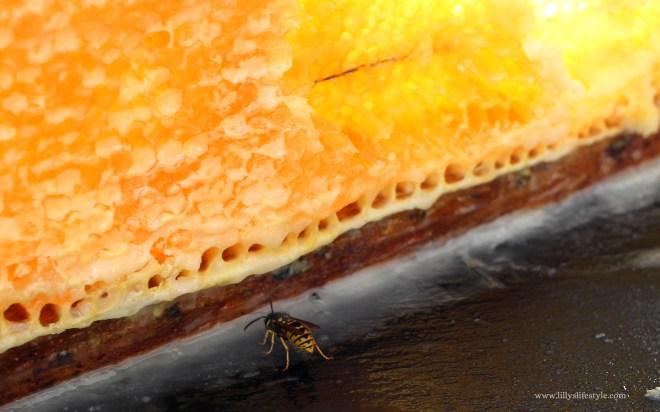 fava di miele portoghese