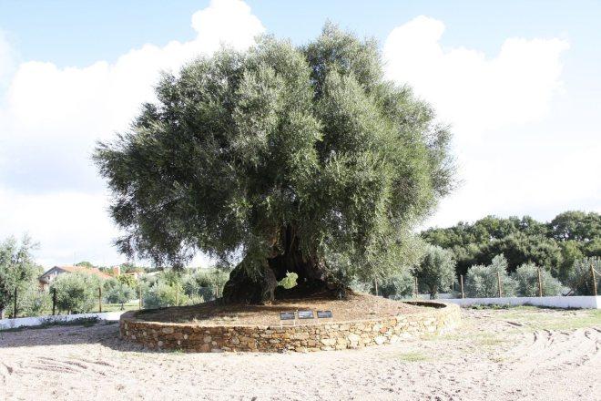 albero ulivo portogallo