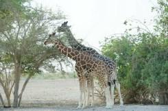 Giraffes having brekky