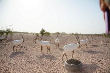 Herd of Arabian Oryx