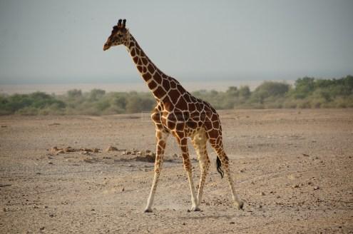 African Reticulated Giraffes