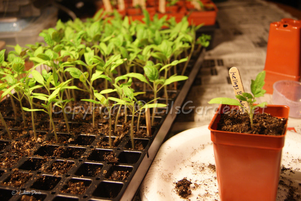 Tomato and Pepper Plants Order Time!