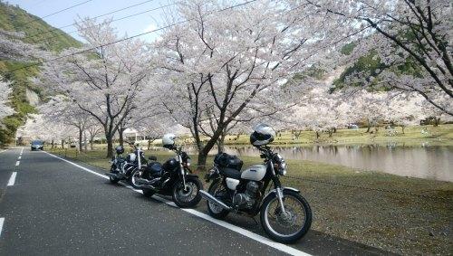 下北山スポーツ公園 桜