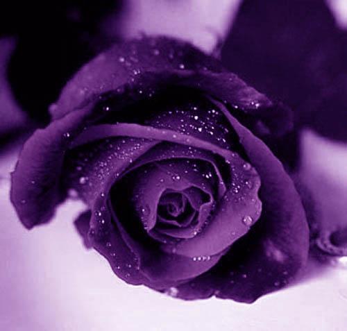purple_rose