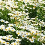 Organic Chamomile for natural skin care products