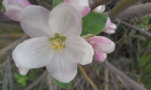organic apple blossom