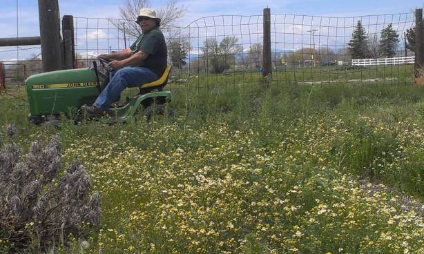 field of chamomile