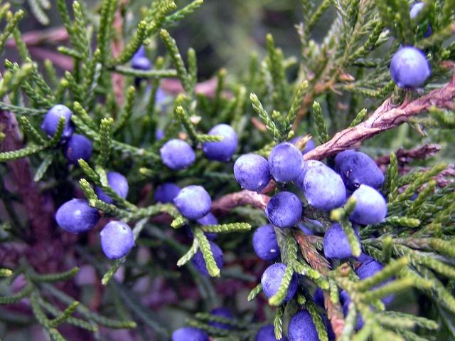 Juniper berry essential oil, organic skin care, natural skin care,