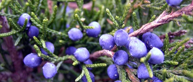 Juniper berry essential oil, organic skin care, natural skin care,