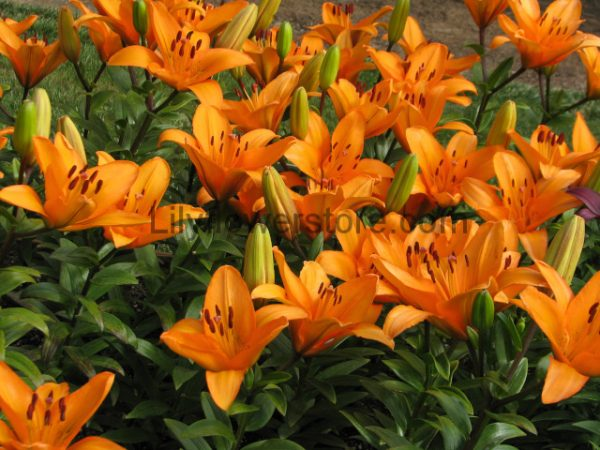 Lily Colors Meaning What Do Lily Colors Mean Lilyflowerstore