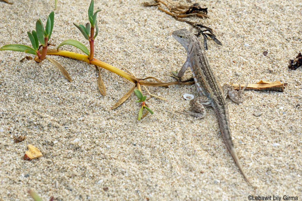 Lizard on sand at Seven Brother Cayes Dominican Republic.