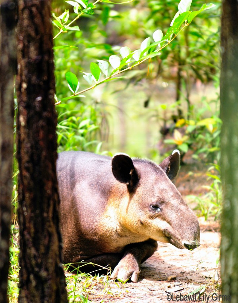 A tapir at Belize Zoo