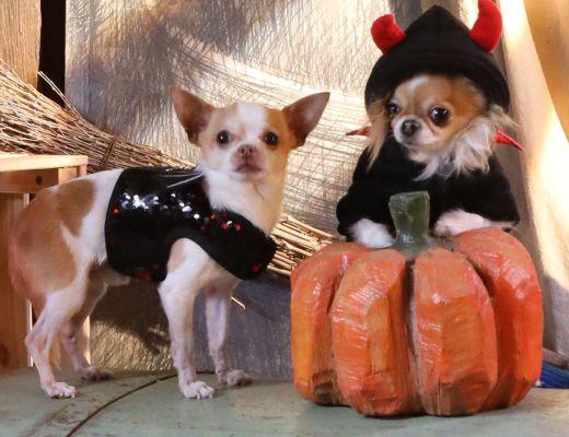 Pettorina cani Halloween Tricky Dear Devil E Felpa Tricky Devil Croci