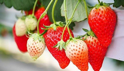 イチゴ狩り神奈川2021予約なしで行ける穴場農園は?料金や食べ放題についても紹介