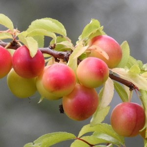 cherry plum, yellow plums, fruit tree