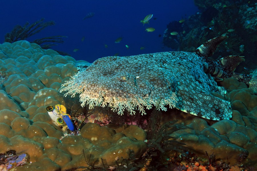 Wobbegong on Coral Reef