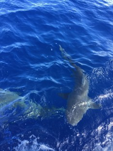 When we pulled up to the spot and dropped the anchor, you could see the sharks just by looking over the edge of the boat!