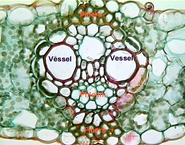 mesophyll cell diagram whirlpool front load washer wiring leaves | the ohio state university at lima