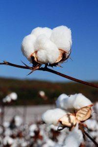 pima_cotton